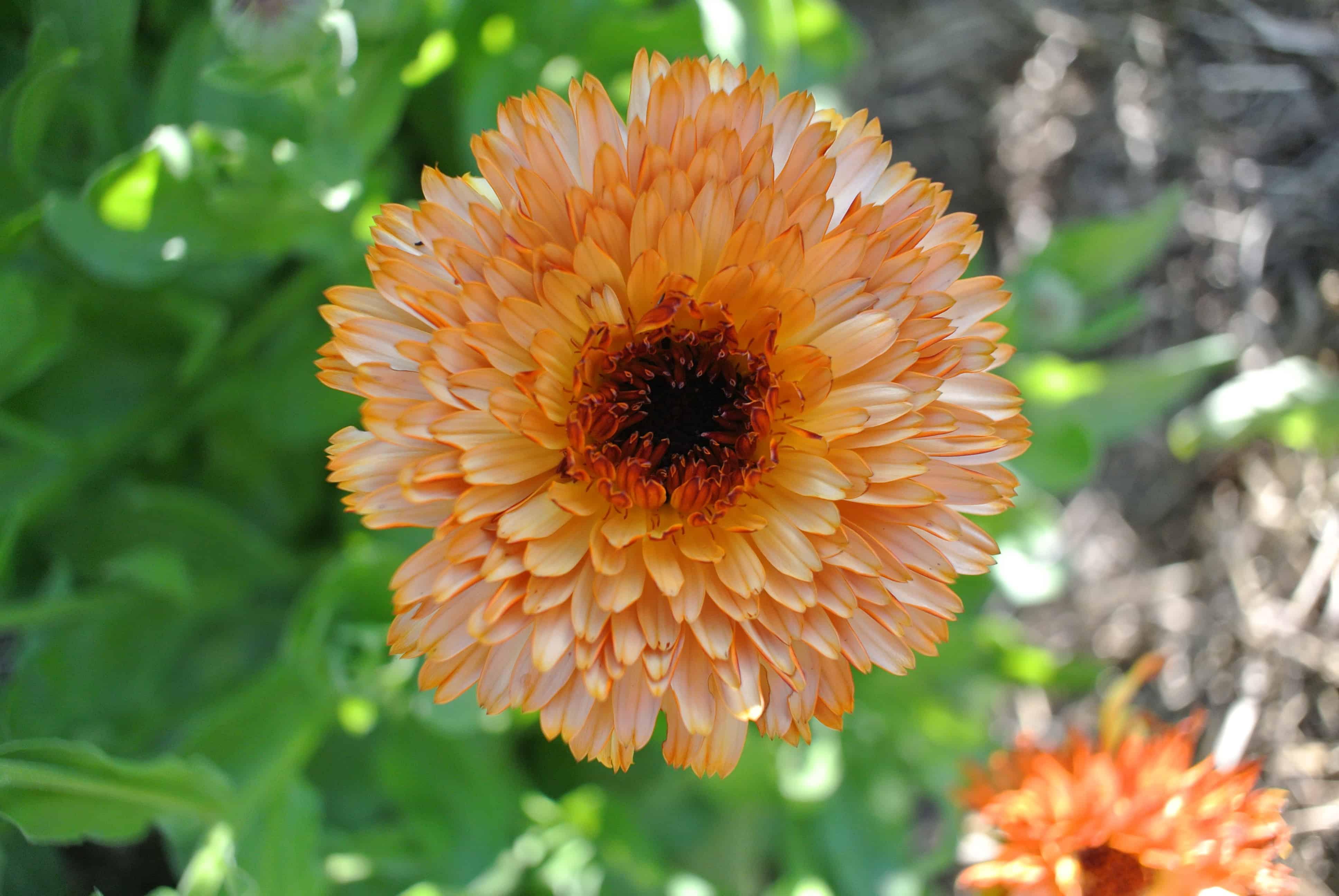 Growing Harvesting And Drying Calendula Flowers