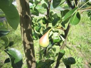 fruitbomen 3