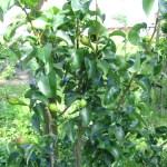 fruitbomen 5