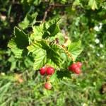 fruitstruiken 3