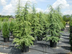 Deodar Cedar Trees Buy Deodar Cedar Trees Deodar Cedar