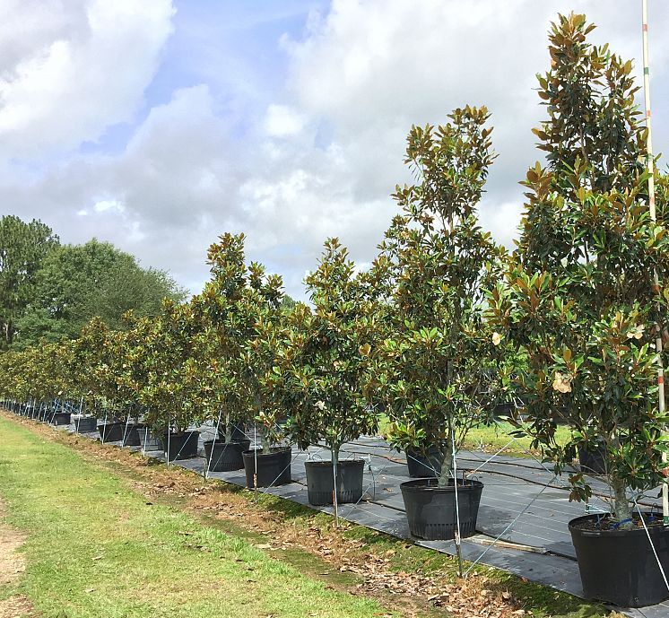Little Gem Magnolia Trees Buy Magnolia Trees Local Tree Farm