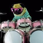 Rockstar Pug Drums To Metallica's 'Enter Sandman'