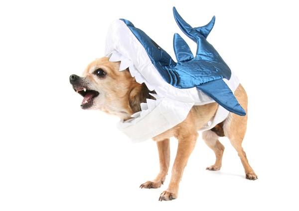 Chihuahua in a shark costume