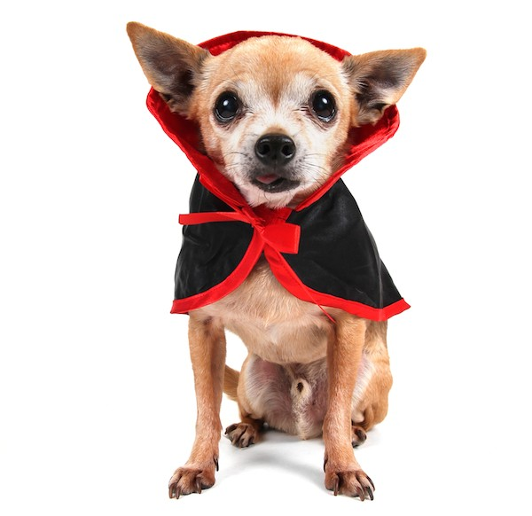 Dog dressed as a vampire