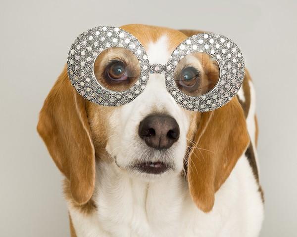 Beagle dressed as a pop star