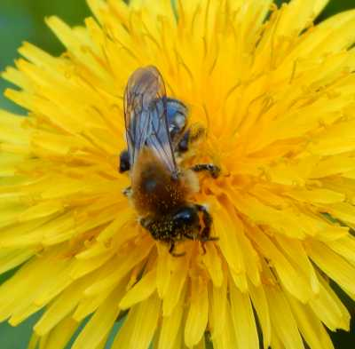 types of bees the