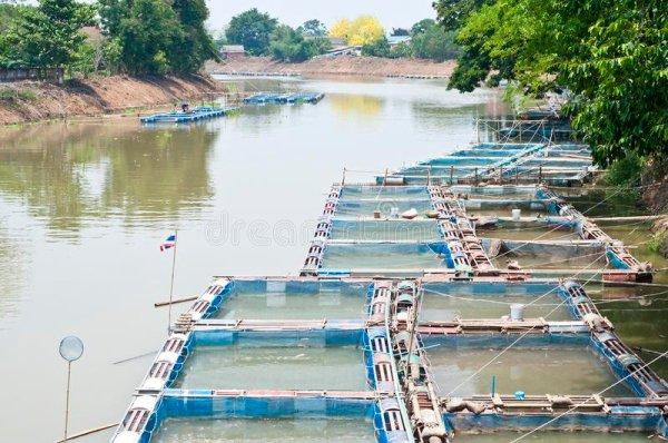 fish farms in Ping River | Buzzy Bee Bike, Chiang Mai, Thailand