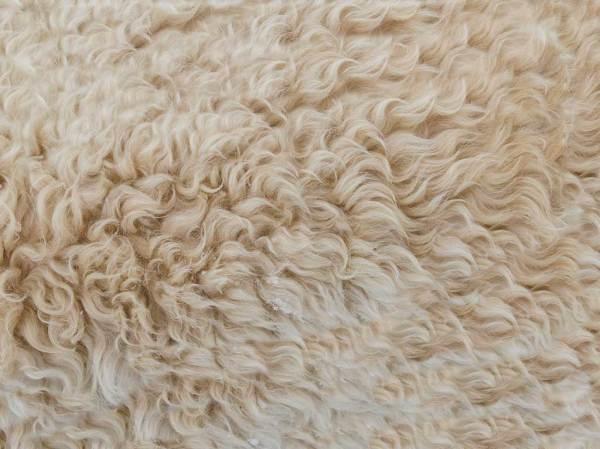 La laine une affaire de bêtes