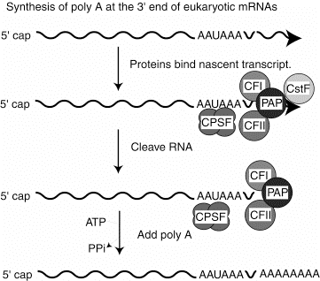 Part Three: Gene Expression and Protein Synthesis