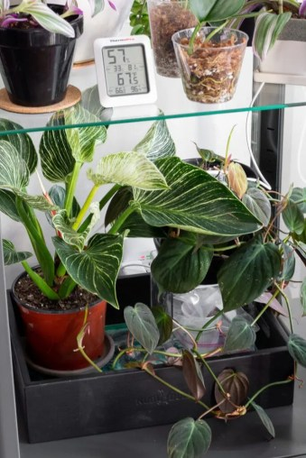 philodendron birkin and micans