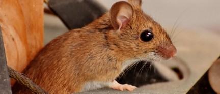 Ako sa účinne zbaviť myší aj bez mačky?