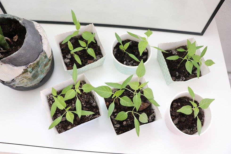 Sådan udplanter du dine chiliplanter