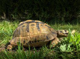 Schildkröten mit Frühlingsgefühlen Mama
