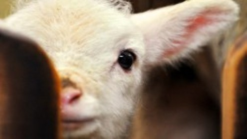 sheep-cute-baby-lamb-sheep-adorable-animals-sweet-free-download-wallpaper-252x142