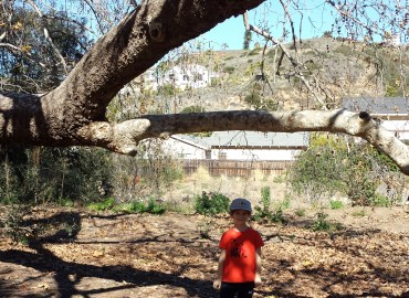 My grandson at the grand old California Sycamore.