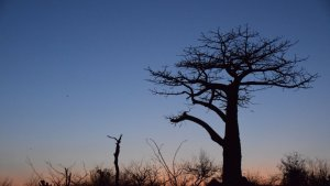 by life connected, baobab, silhouette, sunset, koro river camp