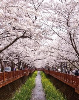 Săn hoa anh đào Hàn Quốc