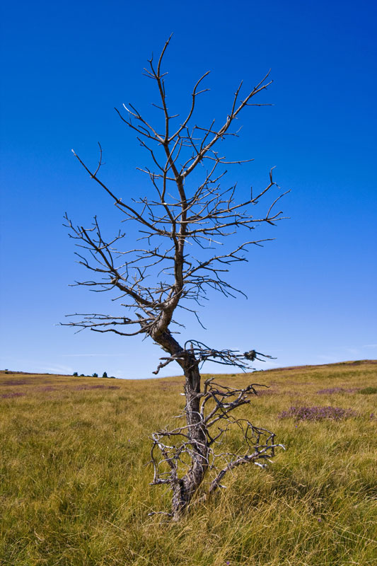 Dead-tree-in-Lozere