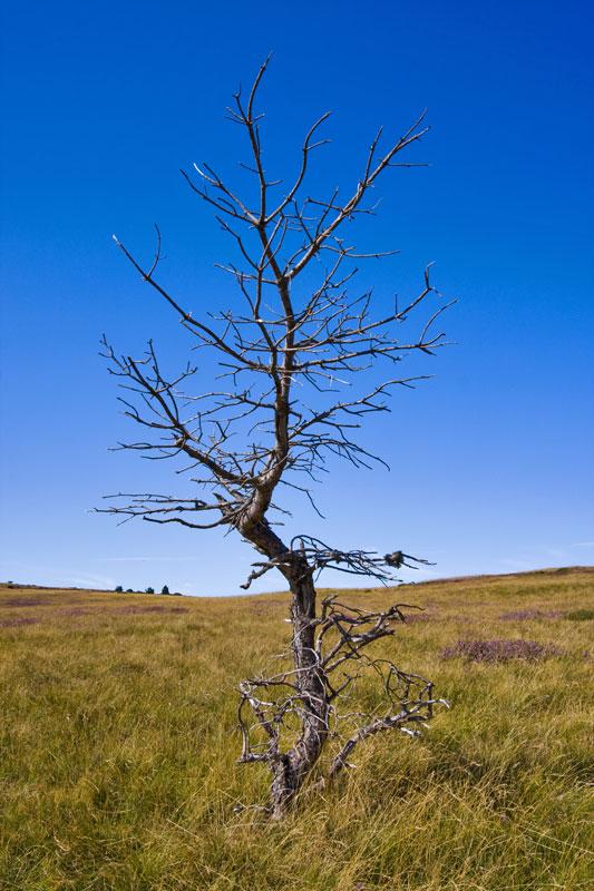 Dead-tree-in-Lozere