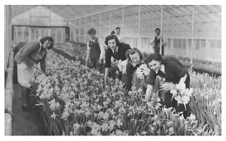 bunching_up_of_daffs_at_bramford3_600m