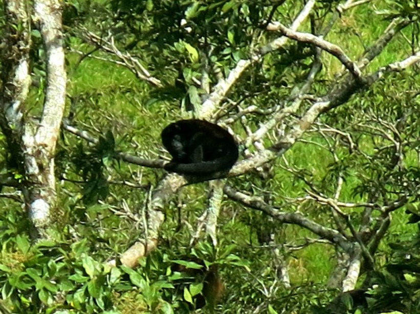 Howler monkey sighting