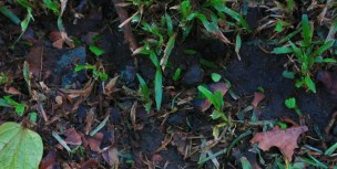 Leaf Cutter Ants - See the trail of leaves?