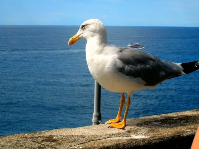 A seagull looks out over Italy's beautiful Cinque Terre coastline.