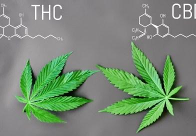 """La cannabis come impresa: dalla produzione alla vendita storia di una filiera """"altoatesina"""""""