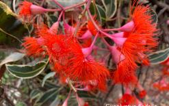 EucalyptusFicifolia1
