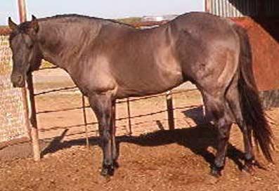 C J Ranch Standing Quarter Horse Stallion Romeo Blue Blue