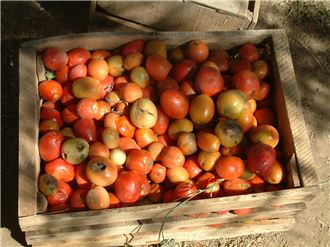 Harvested tomatoes with boll worm symptoms