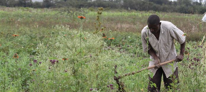 Five invasive pests cost African economy $1 billion every year