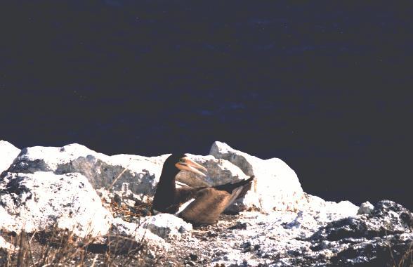 Macroscincus coctei nellisolotto di Razo Capo Verde del Dr Franco Andreone  Torino