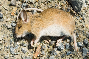 Hantavirus — City of Albuquerque