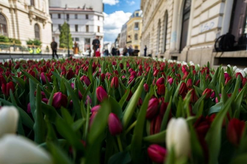 #gradinacusperante covor de flori lalele covor de lalele Parkinson (10 of 23)