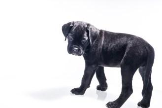 Momoko Cane Corso Puppy (1 of 11)