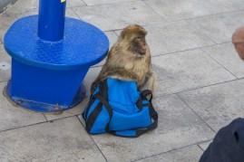 Monkeys of Gibraltar (13 of 17)