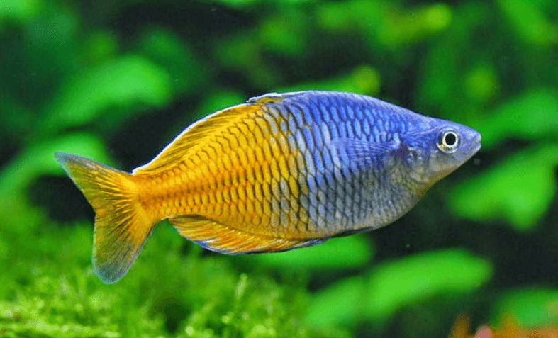 Boesmani Rainbow Fish