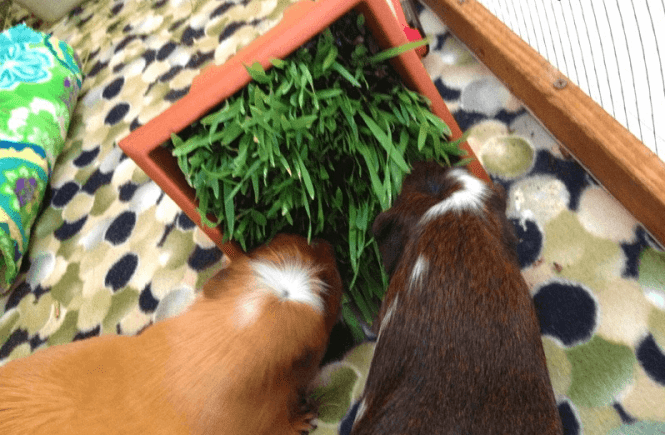can guinea pigs eat celery root