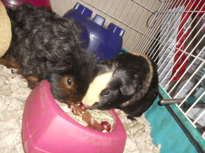 can guinea pigs eat grapes