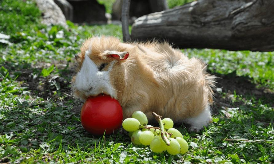 Foods Guinea Pigs Eat