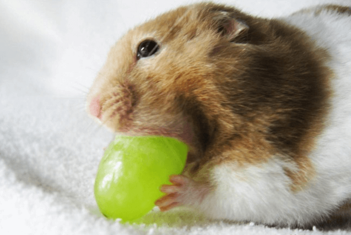 can guinea pigs eat purple grape