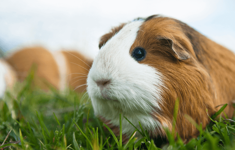 can guinea pigs eat the leaves on celery
