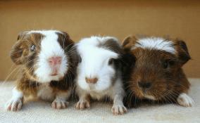newborn baby guinea pigs