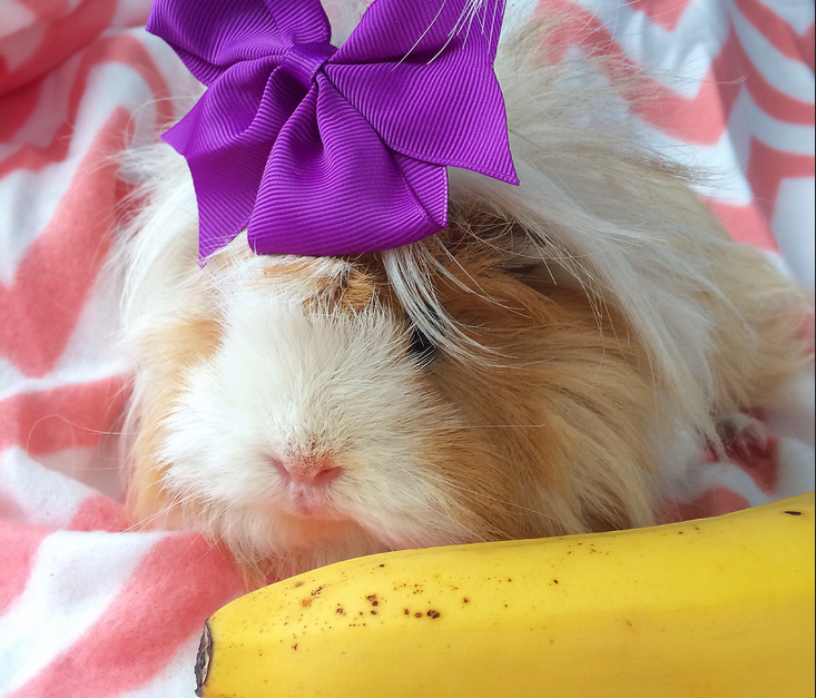 what can guinea pigs eat bananas