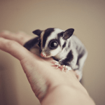Are Sugar Gliders Good Pets? This is Human Relations You Must Know