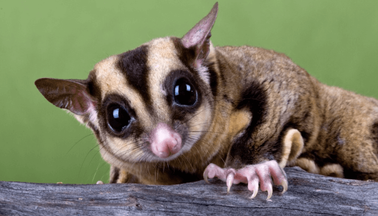 Are Sugar Gliders Good Pets Human Relations