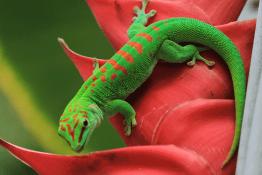 captive leopard gecko lifespan