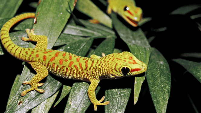 male leopard gecko lifespan